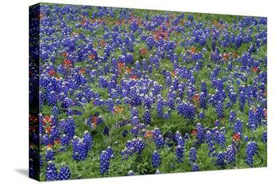Hill Country wildflowers including Sand Bluebonnets and Paintbrush, Texas-Tim Fitzharris-Stretched Canvas Print