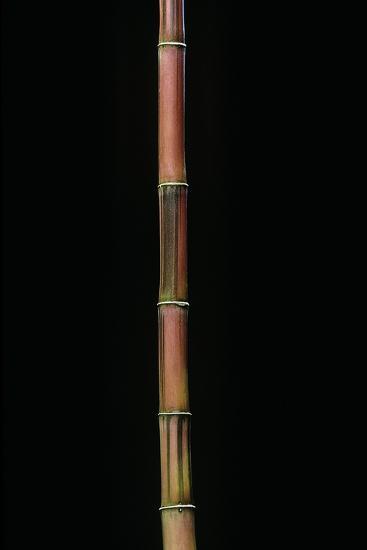 Himalayacalamus Hookerianus 'Damarapa' (Blue Bamboo)-Paul Starosta-Photographic Print