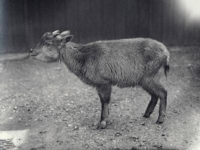 Himalayan Goral at London Zoo, 1914-Frederick William Bond-Photographic Print