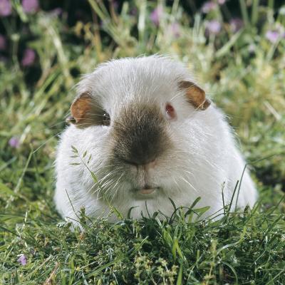 Himalayan Guinea Pig, Male-Jane Burton-Photographic Print
