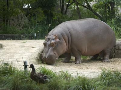 Hippo at the Toledo Zoo-Joel Sartore-Photographic Print