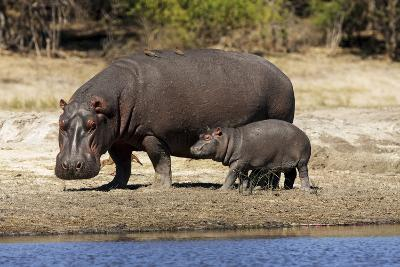Hippo Mother with Young One--Photographic Print