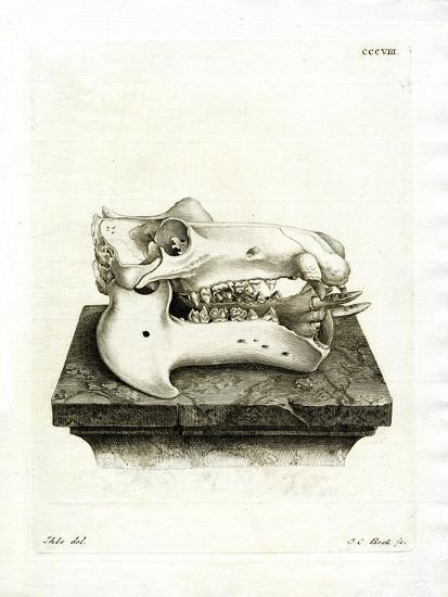 Hippo Skull--Giclee Print