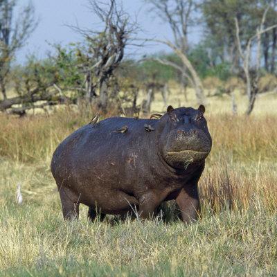 Hippo, with Red-Billed Oxpeckers (Tick Birds), Grazes, Okavango Swamp Edge, Moremi Wildlife Reserve-Nigel Pavitt-Photographic Print
