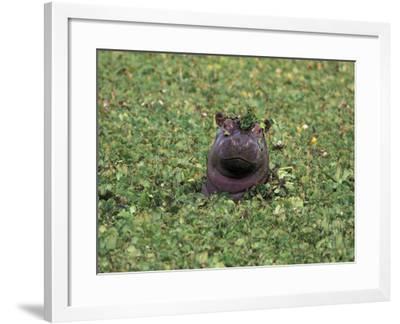 Hippopatamus in Water, Kenya, East Africa, Africa-James Gritz-Framed Photographic Print