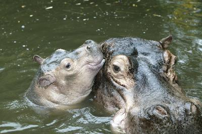 Hippopotamus Adult and Baby in Water--Photographic Print