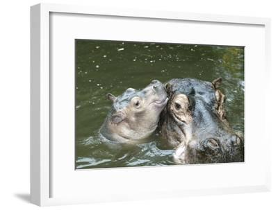 Hippopotamus Adult and Baby in Water