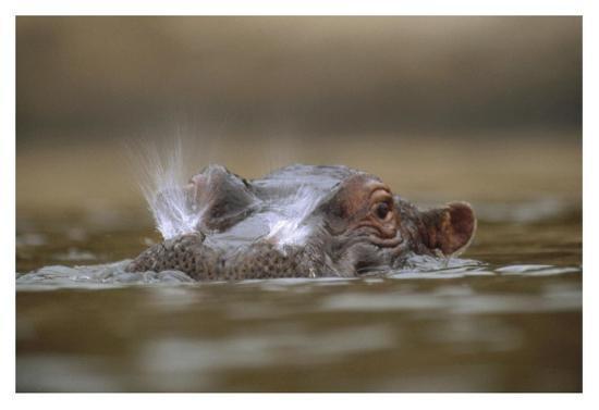 Hippopotamus breathing at water surface, Kenya-Tim Fitzharris-Art Print