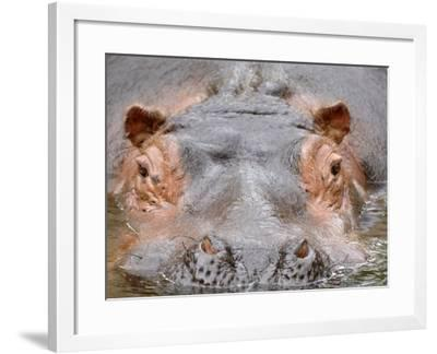 Hippopotamus Face Close-Up Surfacing from Water. Captive, Iucn Red List of Vulnerable Species-Eric Baccega-Framed Photographic Print