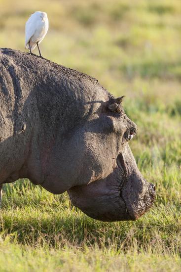 Hippopotamus Grazing, Amboseli National Park, Kenya-Martin Zwick-Photographic Print