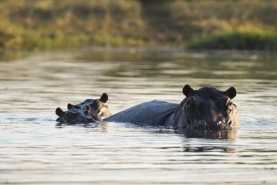Hippopotamus (Hippopotamus Amphibius), Khwai Concession, Okavango Delta, Botswana, Africa-Sergio Pitamitz-Photographic Print