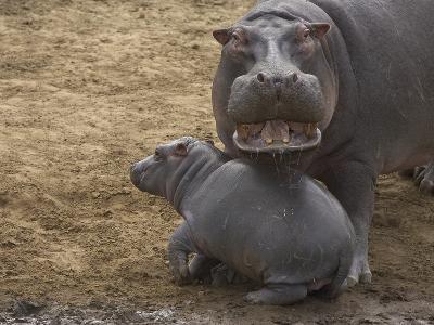 Hippopotamus (Hippopotamus Amphibius) Mother with Young Calf, Masai Mara Nat'l Reserve, Kenya-Suzi Eszterhas/Minden Pictures-Photographic Print