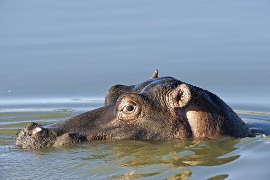 Hippopotamus In Water-Tony Camacho-Photographic Print