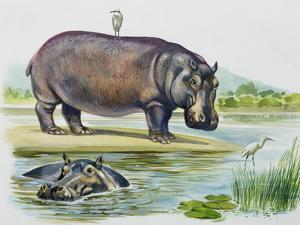 Hippopotamus or Hippo (Hippopotamus Amphibius), Hippopotamidae