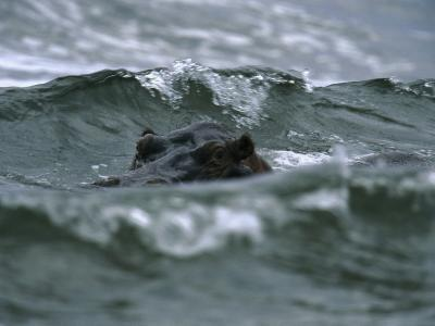 Hippopotamus Peering Out of the Surf-Michael Nichols-Photographic Print