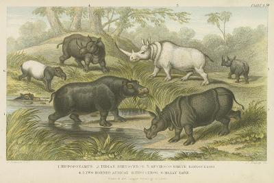Hippopotamus, Rhinoceros and Tapir--Giclee Print