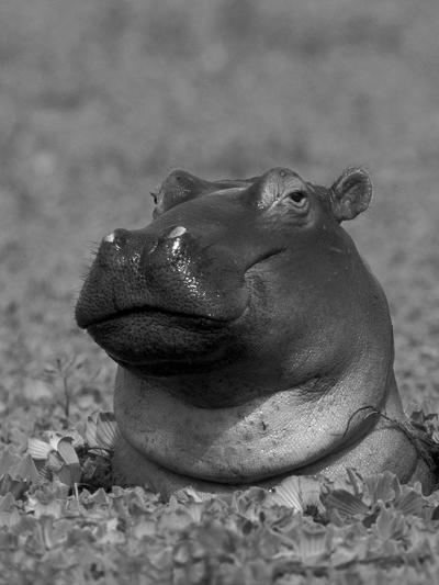 Hippopotamus Surrounded by Water Lettuce, Kruger National Park, South Africa-Tony Heald-Photographic Print