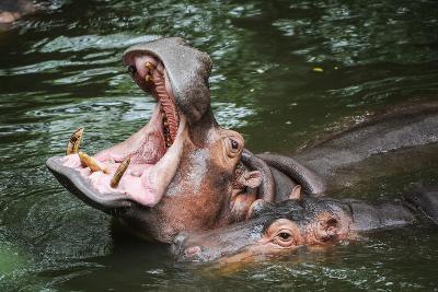 Hippopotamus-Goldquest-Photographic Print