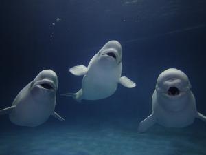 Beluga (Delphinapterus Leucas) Whale Trio Calling, Vulnerable, Shimane Aquarium, Japan by Hiroya Minakuchi/Minden Pictures