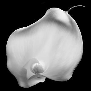 Lily Of Secrets, 2008 by Hiroyuki Arakawa
