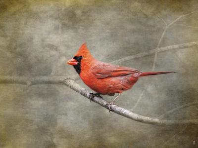 His Red Glory Cardinal-Jai Johnson-Giclee Print