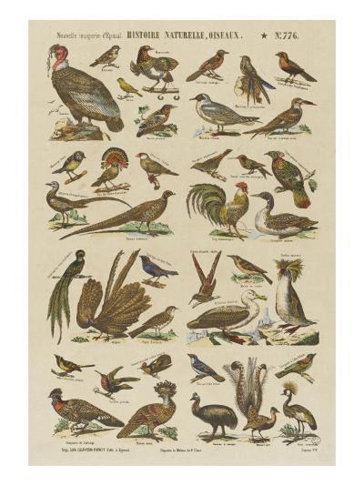 Histoire naturelle : oiseaux--Giclee Print