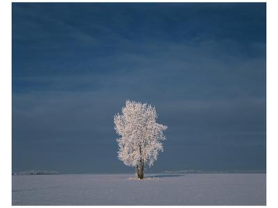 Hoarfrost Covered Cottonwood-Mike Grandmaison-Art Print