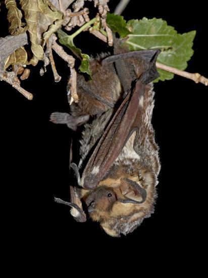 Hoary Bat Perched, Near Portal, Arizona, USA-James Hager-Photographic Print