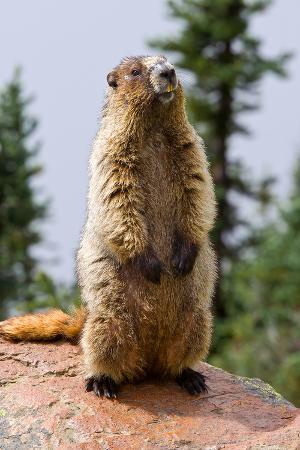 hoary-marmot