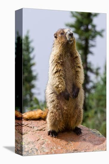 Hoary Marmot--Stretched Canvas Print