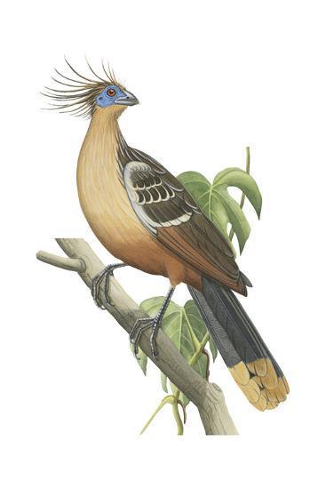 Hoatzin (Opisthocomus Hoazin), Birds.-Encyclopaedia Britannica-Art Print