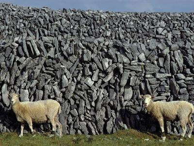 Hobbled Sheep by a Dry Stone Wall-Alen MacWeeney-Photographic Print