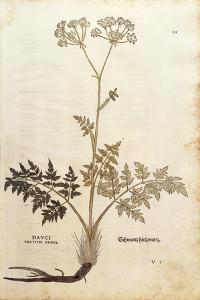Hog's Fennel - Peucedanum Cervaria (Dauci Tertium Genus) by Leonhart Fuchs from De Historia Stirpiu