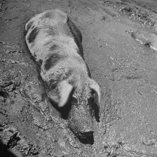 Hog Weighing 200 Lbs. Wallowing in a Mud Pile-Bob Landry-Photographic Print