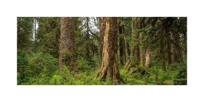 Hoh Rainforest Olympic N P-Steve Gadomski-Photographic Print