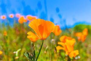 Poppies Poppy Flowers in Orange at California Spring Fields USA by holbox