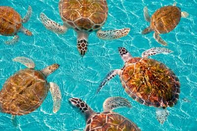 Riviera Maya Turtles Photomount on Caribbean Turquoise Waters of Mayan Mexico by holbox