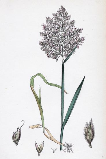 Holcus Lanatus Yorkshire Fog--Giclee Print