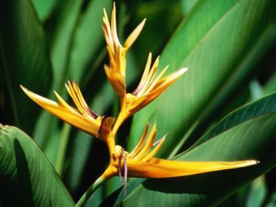 Bird of Paradise Flower, Almond Beach Club, Spa, St James