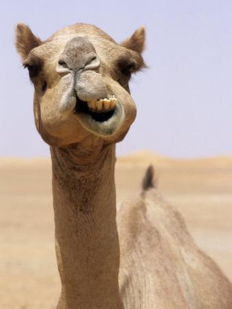 Cheeky Dubai Camel in Desert, Dubai, United Arab Emirates