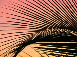 Coconut Leaf at Sunset, Kohala Coast, USA by Holger Leue