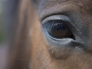 Detail of Horses Face near Lough Ennell, Ireland by Holger Leue