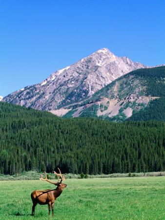 Elk and Mountains Near Coyote Valley, Rocky Mountain National Park, Colorado