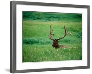 Elk in Meadow, Yellowstone National Park, Wyoming by Holger Leue