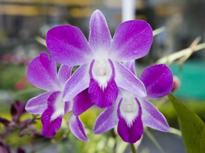 Flowering Orchid