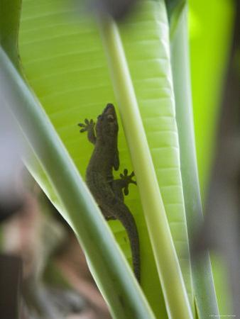 Gecko on Leaf, Cousin Island Special Reserve Near Praslin Island, Cousin Island