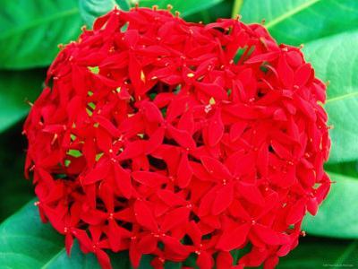Ixora Flower, Flower Forest Richmond, St Joseph