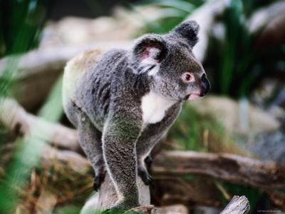 Koala, Hartley's Creek Crocodile Farm, Cairns, Queensland, Australia