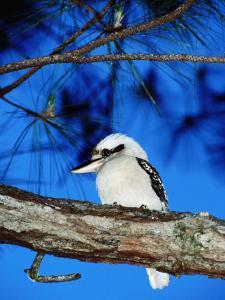 Kookaburra, Queensland, Australia by Holger Leue