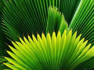 Palm at Windjammer Landing Villas, Gros Islet by Holger Leue